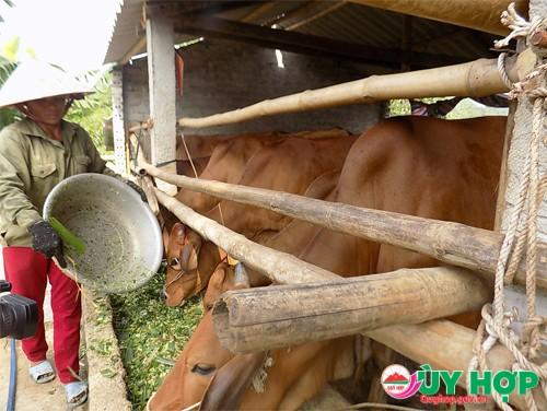 Bò nhốt được nhiều hộ nông dân trên địa bàn nuôi đem lại hiệu quả kinh tế,