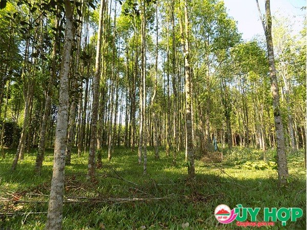 Nhiều gia đình trồng cây Dó trầm hiệu quả cao