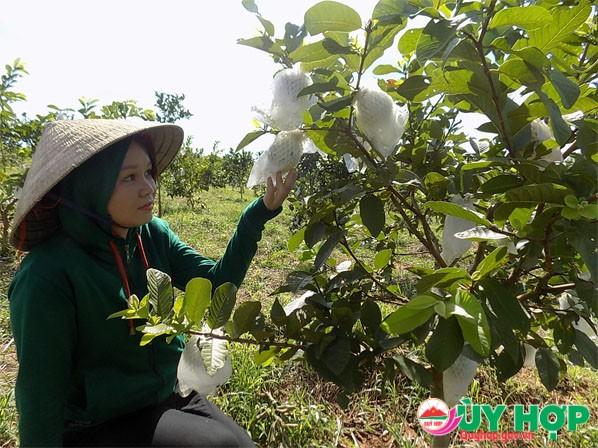 Vườn ổi lê Đài Loan gần 1.000 gốc của gia đình chị Oánh