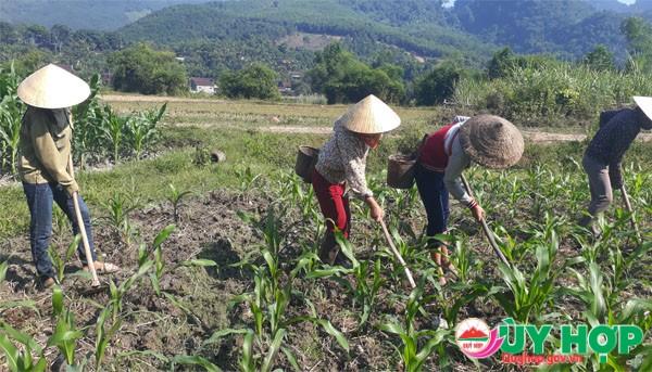 Bà con nông dân chăm sóc ngô nếp trồng trên đất ruộng nước